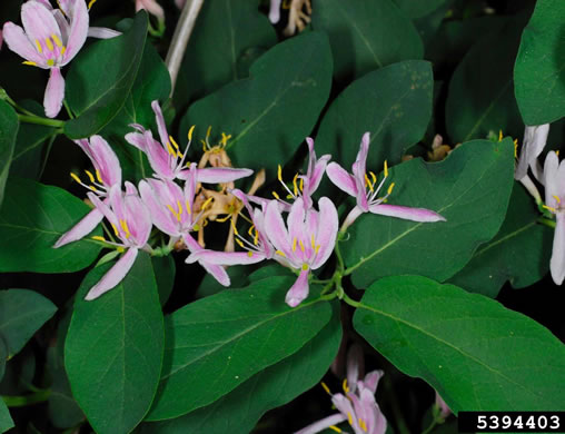 image of Lonicera ×bella, Bell's Honeysuckle, Pretty Honeysuckle, Showy Honeysuckle