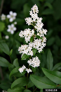 flower of Ligustrum vulgare, European Privet, Common Privet