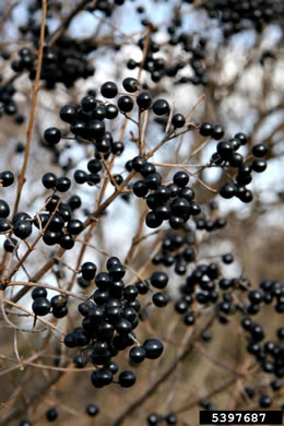 berry: Ligustrum vulgare, European Privet, Common Privet