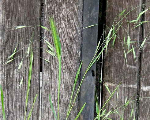awn: Bromus sterilis, Poverty Brome, Barren Brome, Cheatgrass