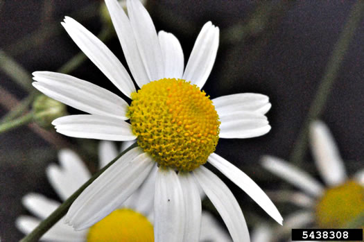 image of Tripleurospermum inodorum, Scentless Chamomile, False Chamomile