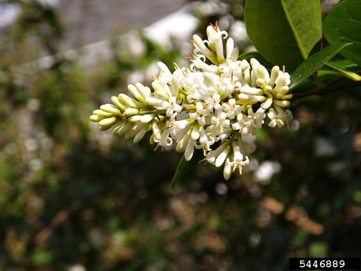 flower of Ligustrum ovalifolium, California Privet