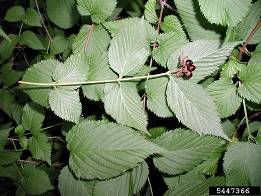 image of Rhodotypos scandens, Jetbead