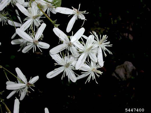 image of Clematis terniflora, Sweet Autumn Clematis, Yam-leaved Clematis, Sweet Autumn Virgin's Bower