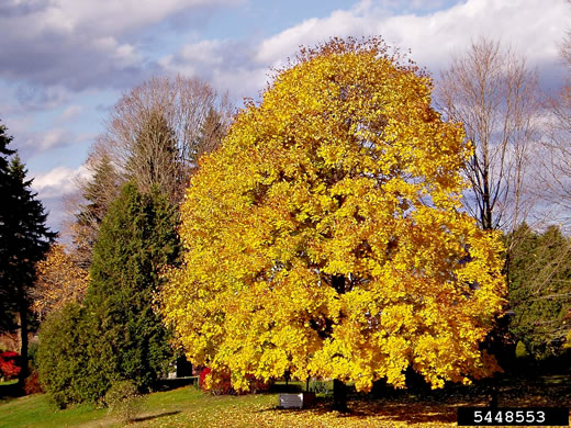 image of Acer platanoides, Norway Maple
