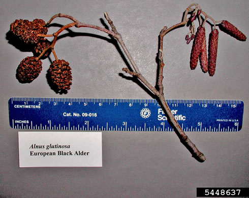 flower of Alnus glutinosa, Black Alder, European Alder