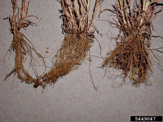 image of Bromus tectorum, Downy Brome, Downy Chess, Downy Cheat, Cheatgrass