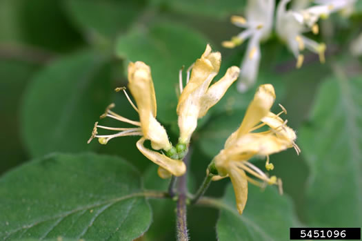 image of Lonicera xylosteum, European Fly-honeysuckle, Dwarf Honeysuckle