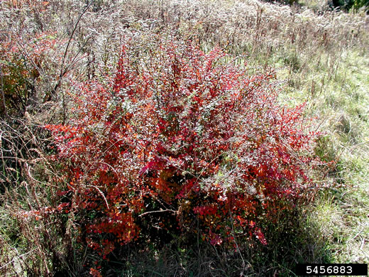 image of Berberis thunbergii, Japanese Barberry