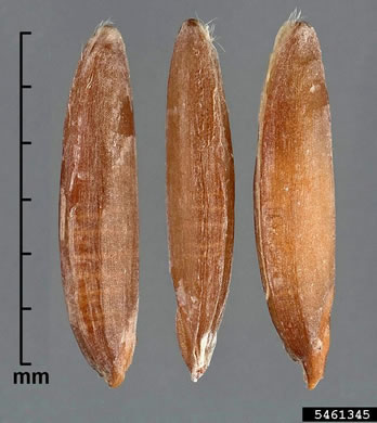 image of Bromus catharticus var. catharticus, Rescue Grass