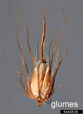 image of Cenchrus ciliaris, Buffelgrass
