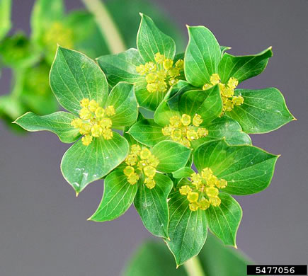 flower of Bupleurum rotundifolium, Hound's-ear, Hare's-ear, Thoroughwax