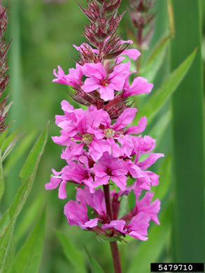 image of Lythrum salicaria, Purple Loosestrife