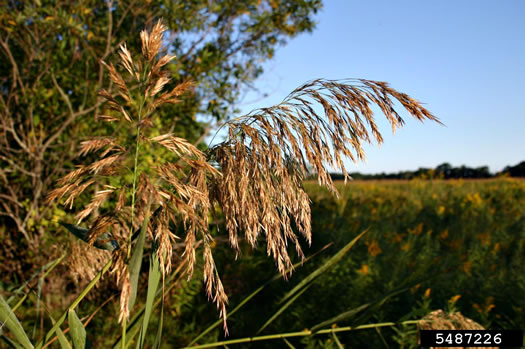 image of Phragmites australis, Common Reed