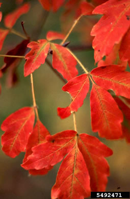 image of Acer ginnala, Amur Maple