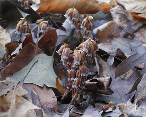 image of Monotropsis odorata, Appalachian Pygmy Pipes, Sweet Pinesap