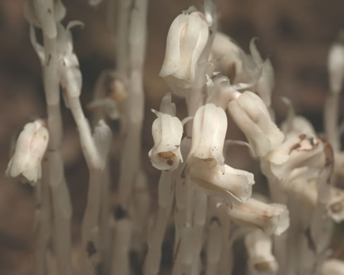 image of Monotropa uniflora, Indian Pipes, Ghost Flower