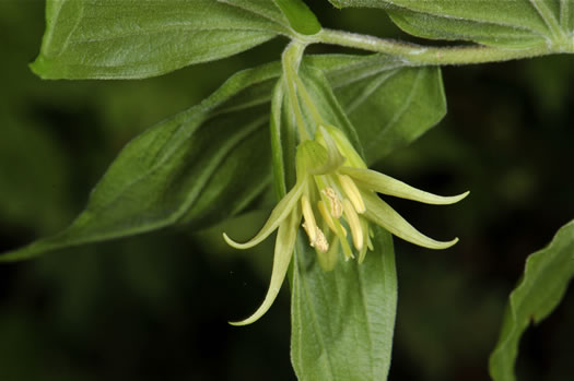 flower of Prosartes lanuginosa, Yellow Mandarin, Yellow Fairybells