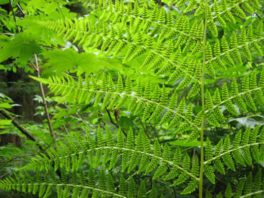 image of Athyrium angustum, Northern Lady Fern