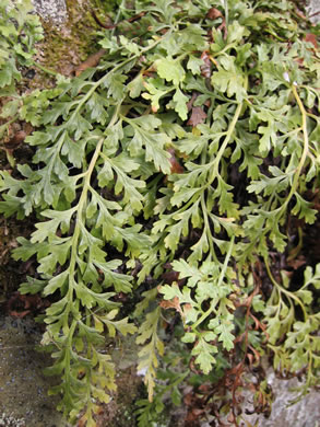 image of Asplenium montanum, Mountain Spleenwort