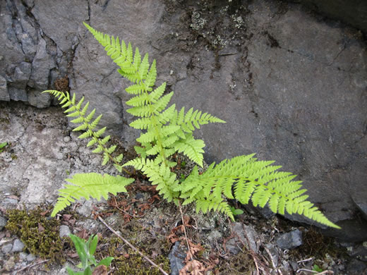 image of Cystopteris fragilis, Fragile Fern, Brittle Fern