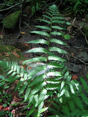 image of Dryopteris celsa, Log Fern