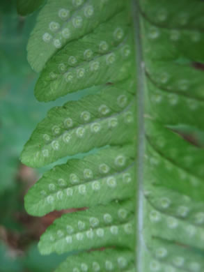 image of Dryopteris goldiana, Goldie's Wood-fern