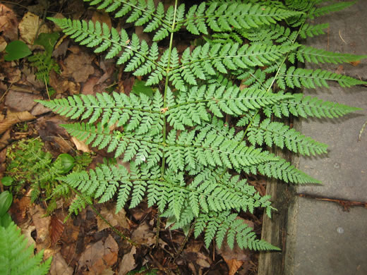 rachis: Dryopteris intermedia, Evergreen Wood-fern, Fancy Fern, Intermediate Wood-fern