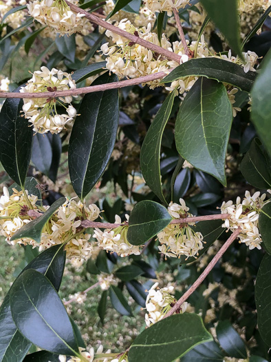 flower of Osmanthus fragrans, Fragrant Tea Olive