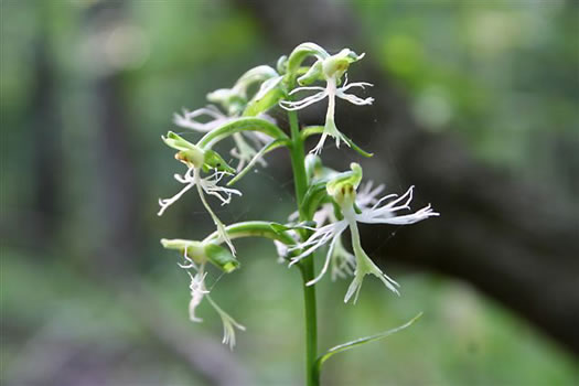 flower of Platanthera lacera, Green Fringed Orchid, Ragged Fringed Orchid, Ragged Orchid