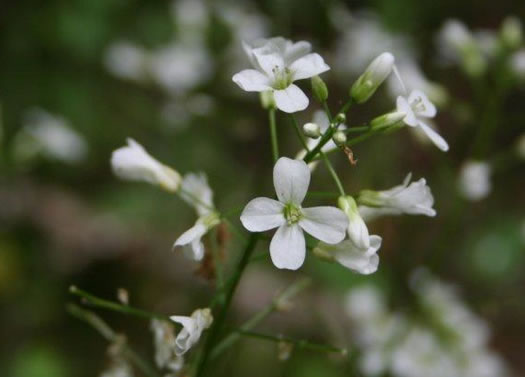 flower of Cardamine bulbosa, Bulbous Bittercress, Spring Cress