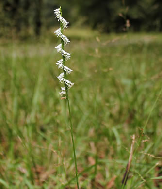 leaf or frond of Spiranthes lacera var. gracilis, Southern Slender Ladies'-tresses