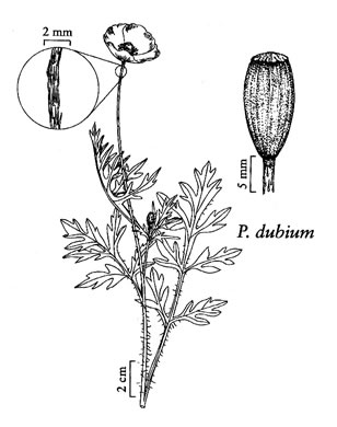 image of Papaver dubium, Long-headed Poppy, Blind Eyes