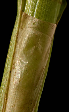 image of Scirpus polyphyllus, Leafy Bulrush