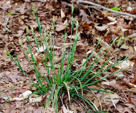 glaucous: Carex striatula, Carex striatula, Carex striatula
