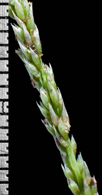 spikelet: Sporobolus indicus, Smut Grass, Blackseed