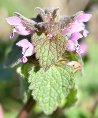 flower of Lamium purpureum, Purple Deadnettle, Red Deadnettle