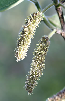 flower of Broussonetia papyrifera, Paper Mulberry