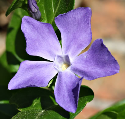 flower of Vinca major, Bigleaf Periwinkle, Greater Periwinkle