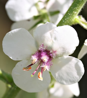 Moth Mullein, Wand Mullein, and Woolly Mullein: Verbascum blattaria, Verbascum blattaria, Verbascum blattaria