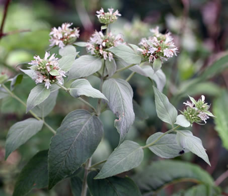 calyx: Pycnanthemum pycnanthemoides +, Woodland Mountain-mint