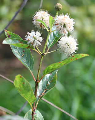 image of Cephalanthus occidentalis, Buttonbush