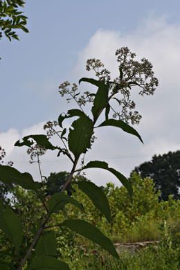 image of Eutrochium fistulosum, Hollow-stem Joe Pye Weed