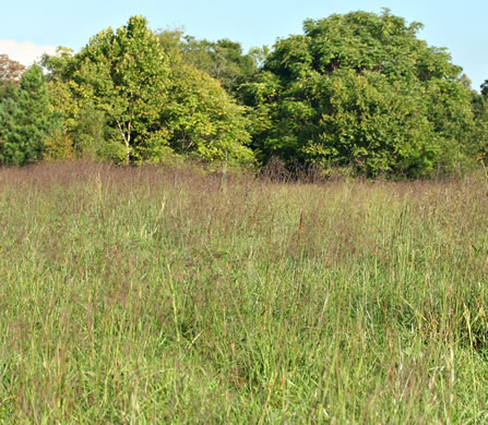 image of Tridens flavus, Purpletop, Purpletop Tridens, Greasy Grass, Tall Redtop