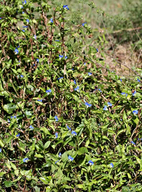 image of Commelina communis, Asiatic Dayflower, Common Dayflower