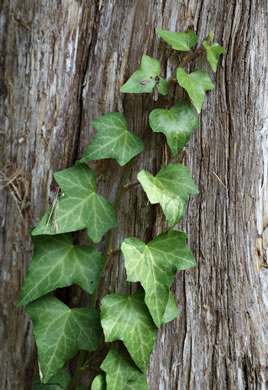 leaf or frond of Hedera helix var. helix, English Ivy, Common Ivy