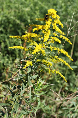 image of Solidago altissima var. altissima, Tall Goldenrod, Field Goldenrod, Common Goldenrod