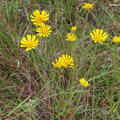 image of Balduina uniflora