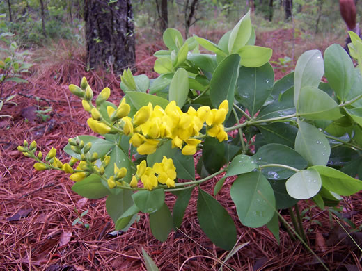 image of Baptisia cinerea, Carolina Wild Indigo