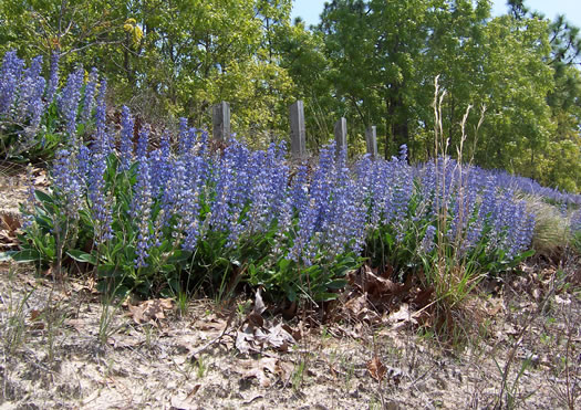 image of Lupinus diffusus, Blue Sandhill Lupine, Sky-blue Lupine